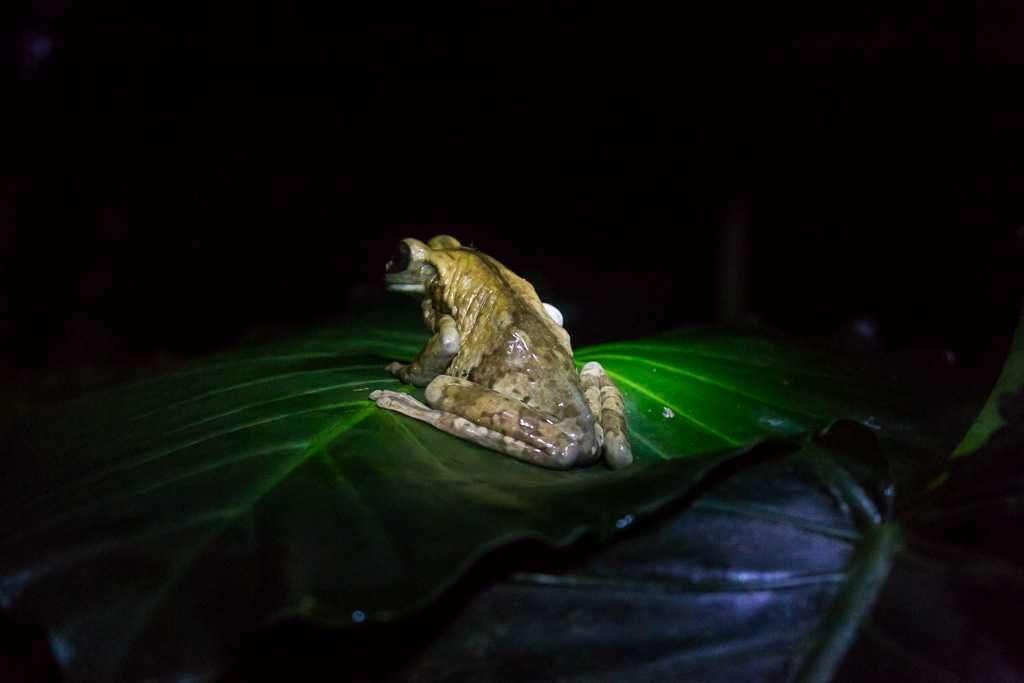 Espalda de la rana lechosa, ranario de Monteverde, Costa Rica