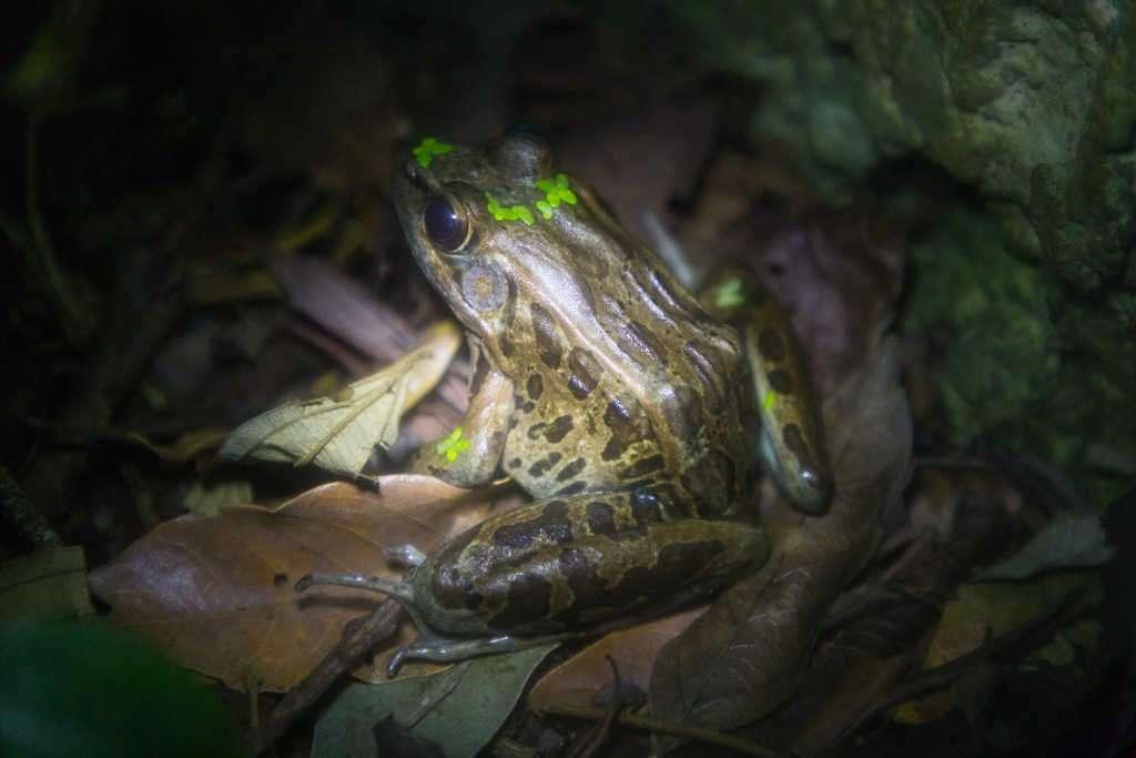Espalda de la rana leopardo, ranario de Monteverde, Costa Rica