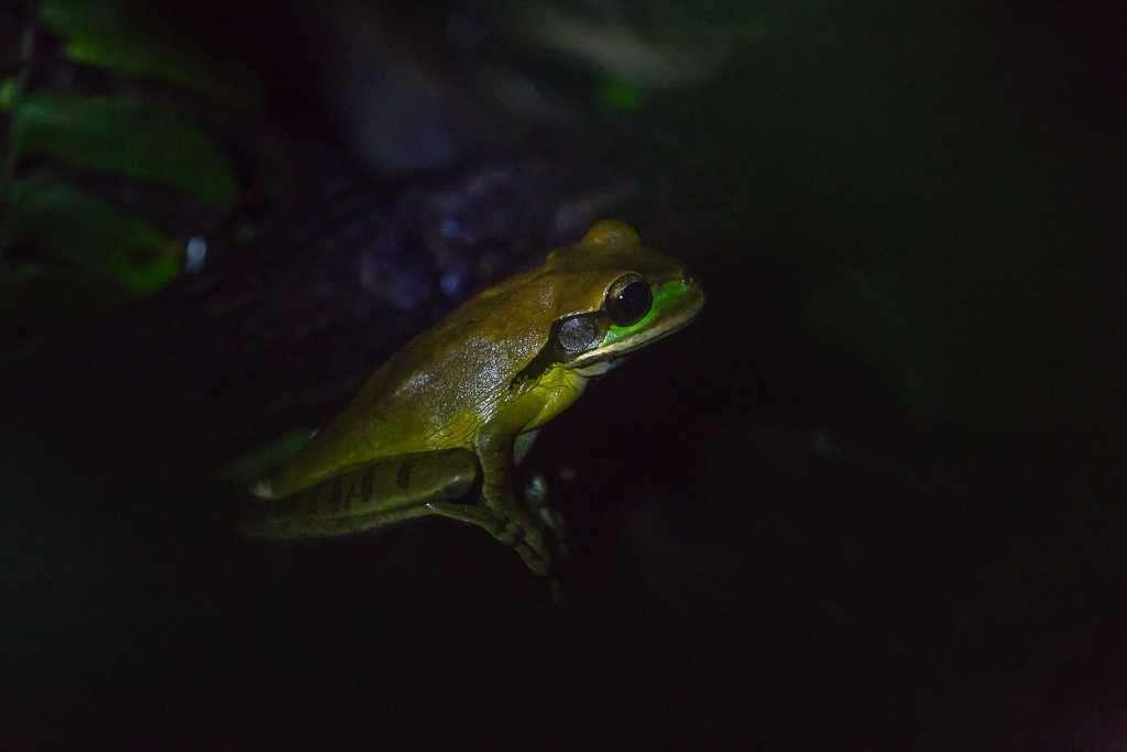 Rana de quebrada de ojos rufos, ranario de Monteverde, Costa Rica