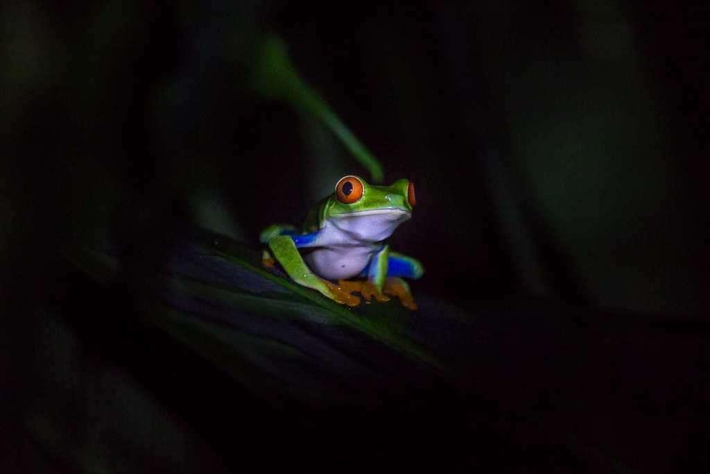 Rana verde de ojos rojos estirada, ranario de Monteverde, Costa Rica