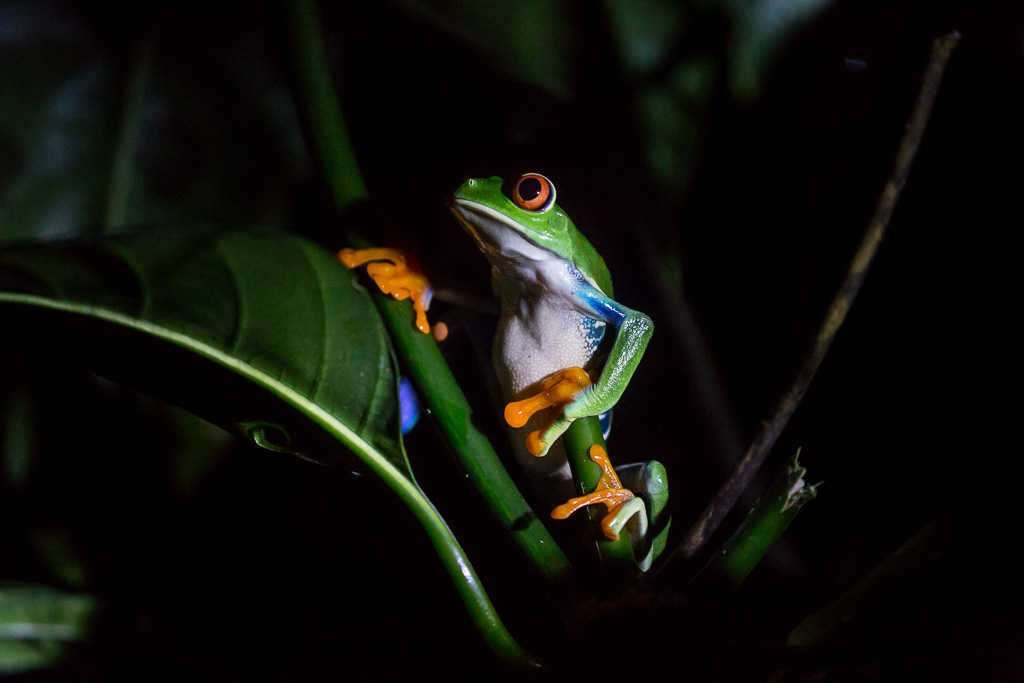 Rana de ojos rojos en el ranario de Monteverde