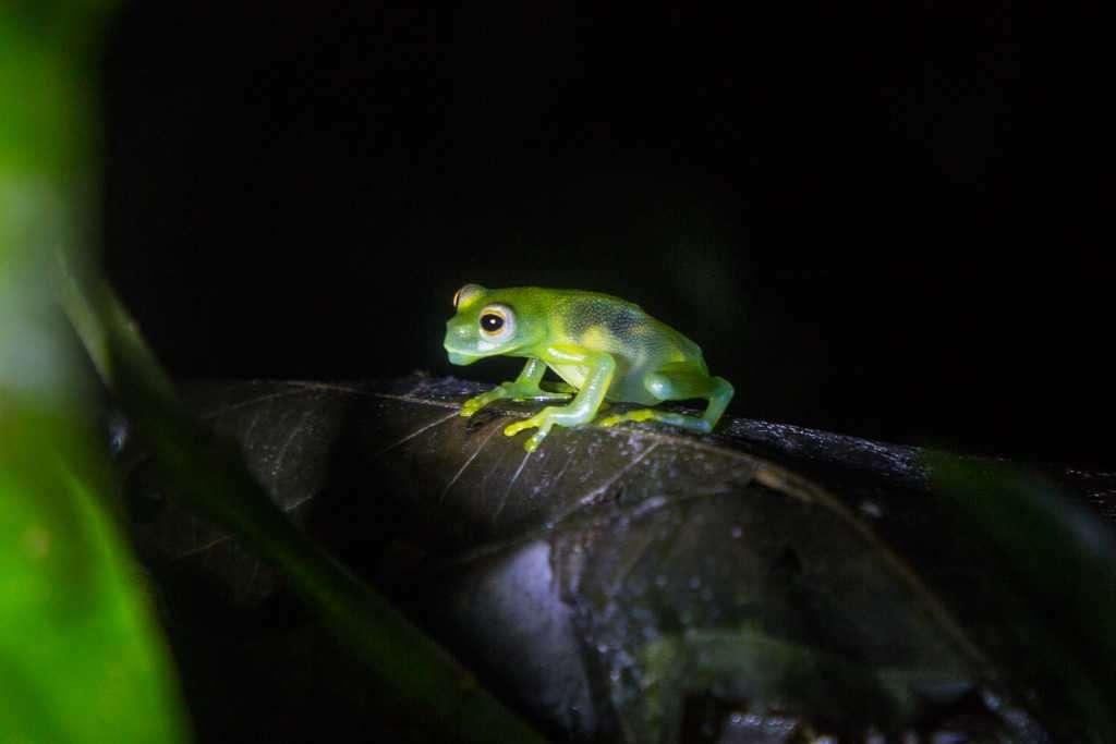 Rana de vidrio o de cristal de Fleischmann, ranario de Monteverde, Costa Rica