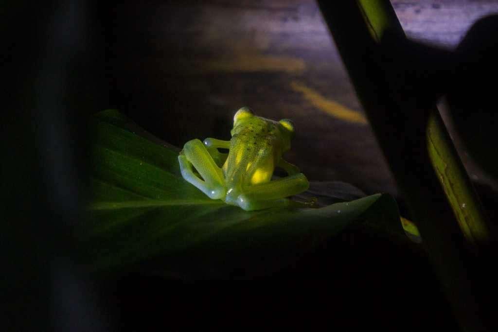 Espalda de la rana de vidrio o de cristal de Fleischmann, ranario de Monteverde, Costa Rica