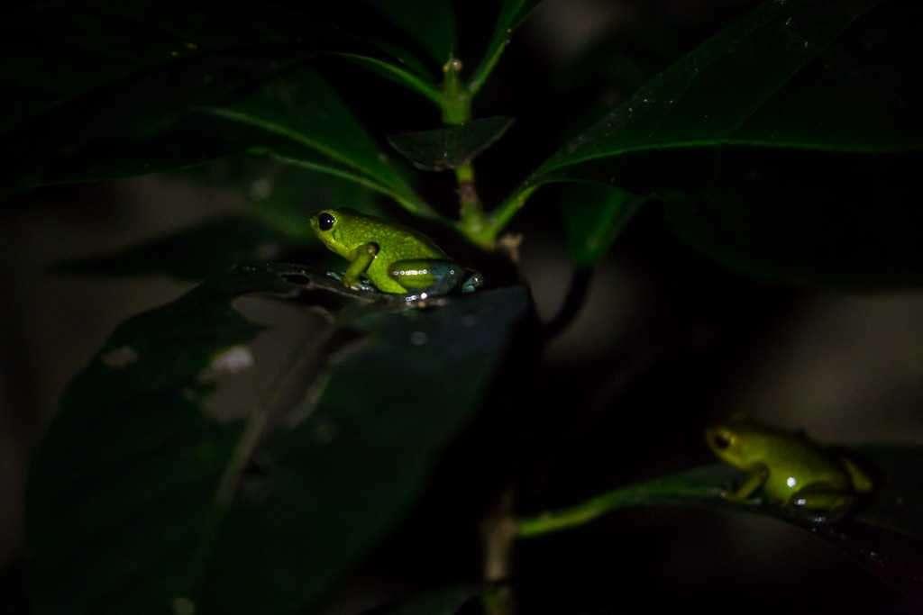 Ranita venenosa granulada verde, ranario de Monteverde, Costa Rica