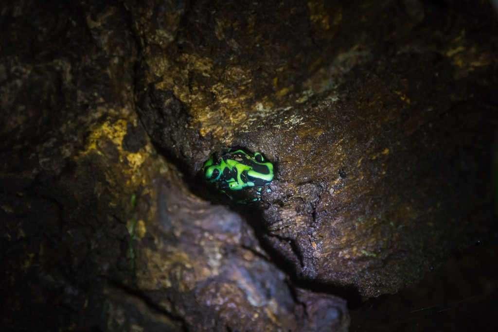Ranita venenosa verdinegro, ranario de Monteverde, Costa Rica
