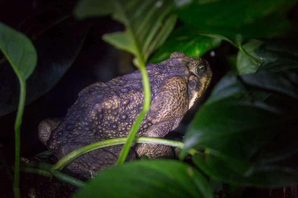 Sapo gigante o sapo de cañal, ranario de Monteverde, Costa Rica