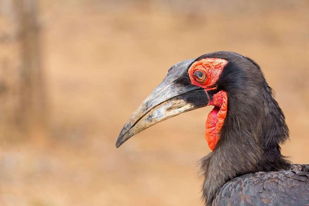Calao terrestre sureño en el Kruger, Sudáfrica
