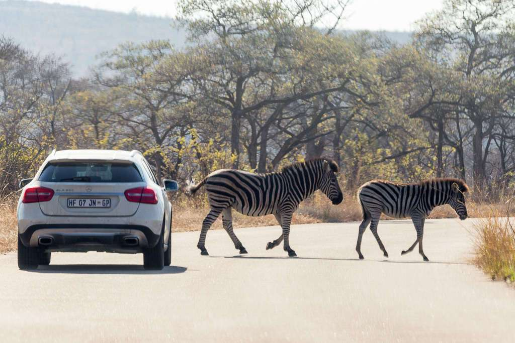 Cebras cruzando la carretera en el Kruger, Sudáfrica