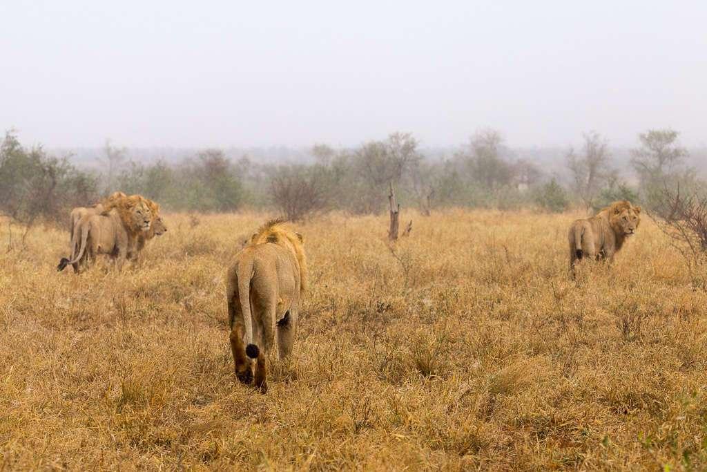Cinco leones en la niebla, Kruger, Sudáfrica