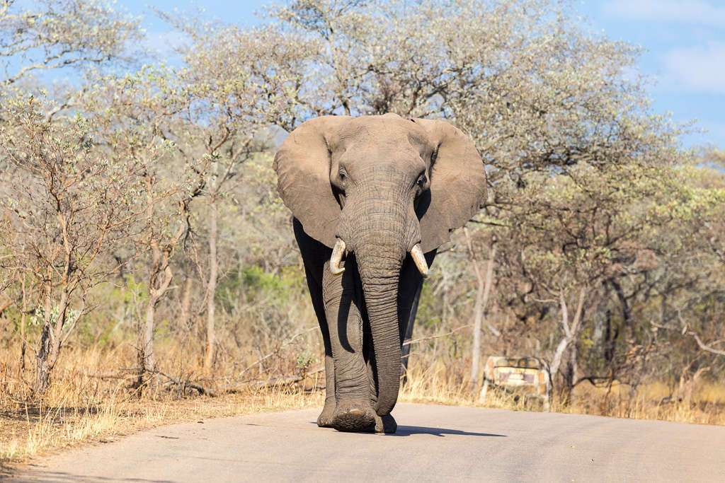 Elefante andando por la carretera en el Kruger, Sudáfrica
