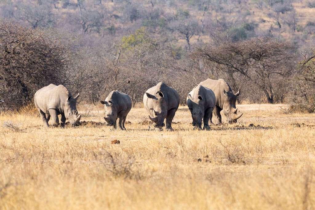 Grupo de rinocerontes, Kruger, Sudáfrica