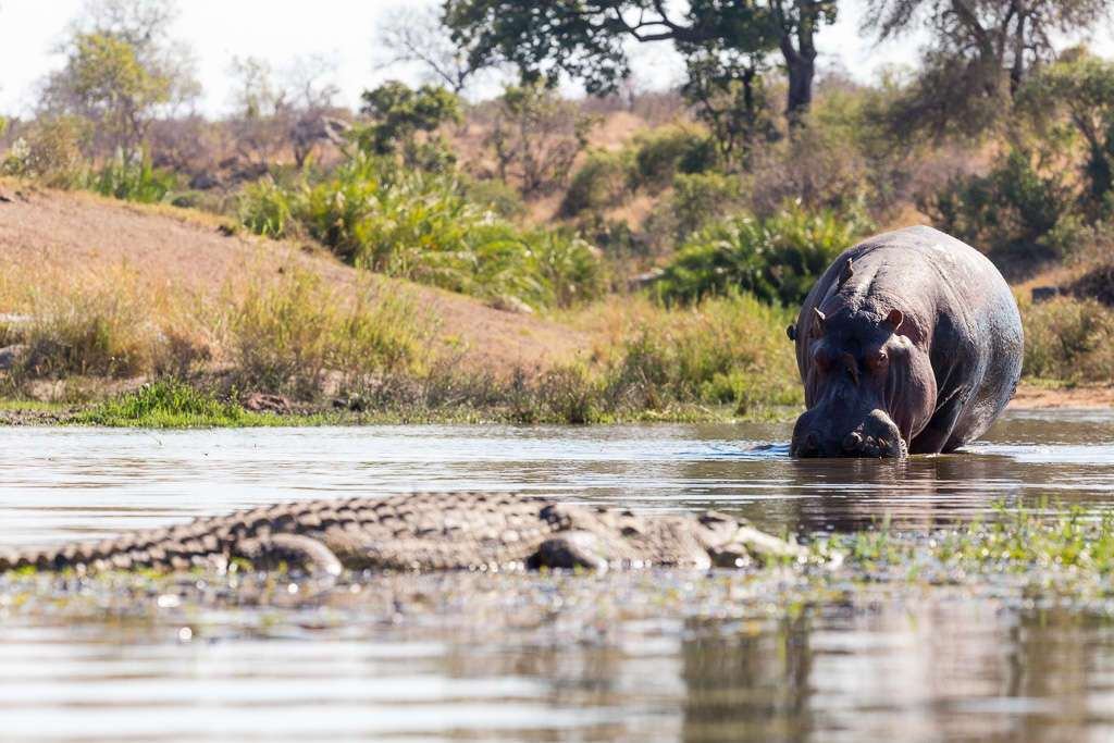 Hipopótamo y cocodrilo en el Kruger, Sudáfrica