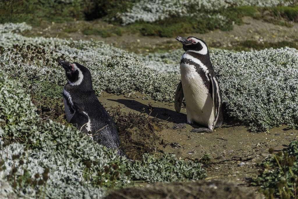 Pingüinos magallánicos en isla Magdalena, Patagonia chilena, Chile