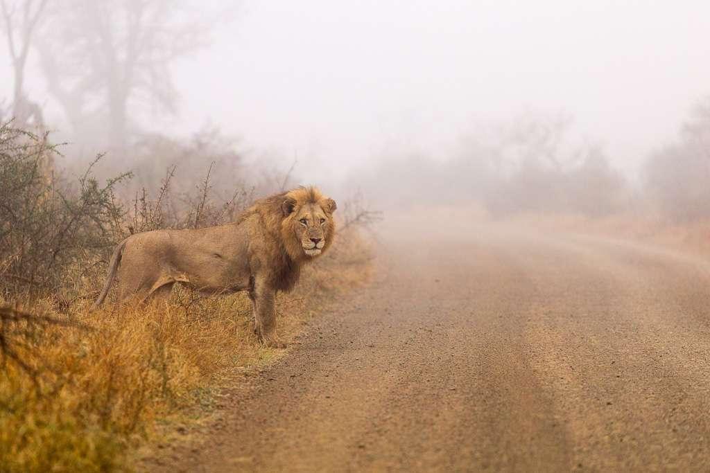 León entre la niebla en un camino del Kruger, Sudáfrica