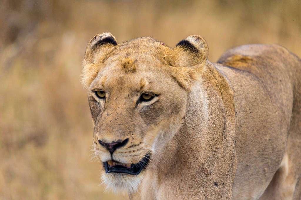 Leona cerca del Lower Sabie, Kruger, Sudáfrica
