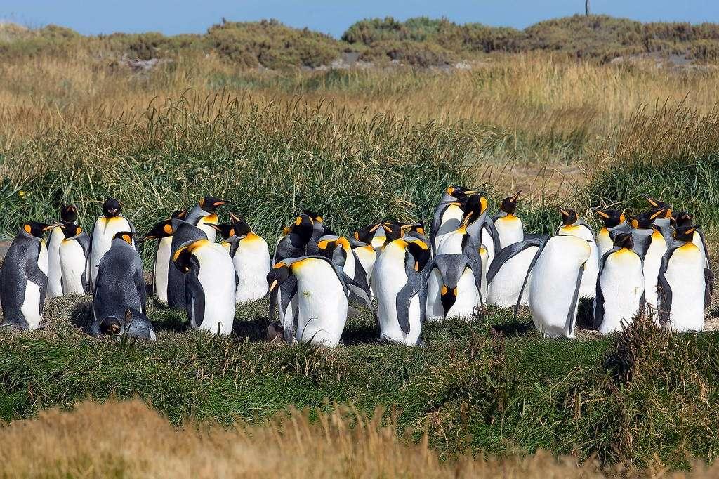 Colonia de pingüinos rey, Tierra de Fuego, Chile