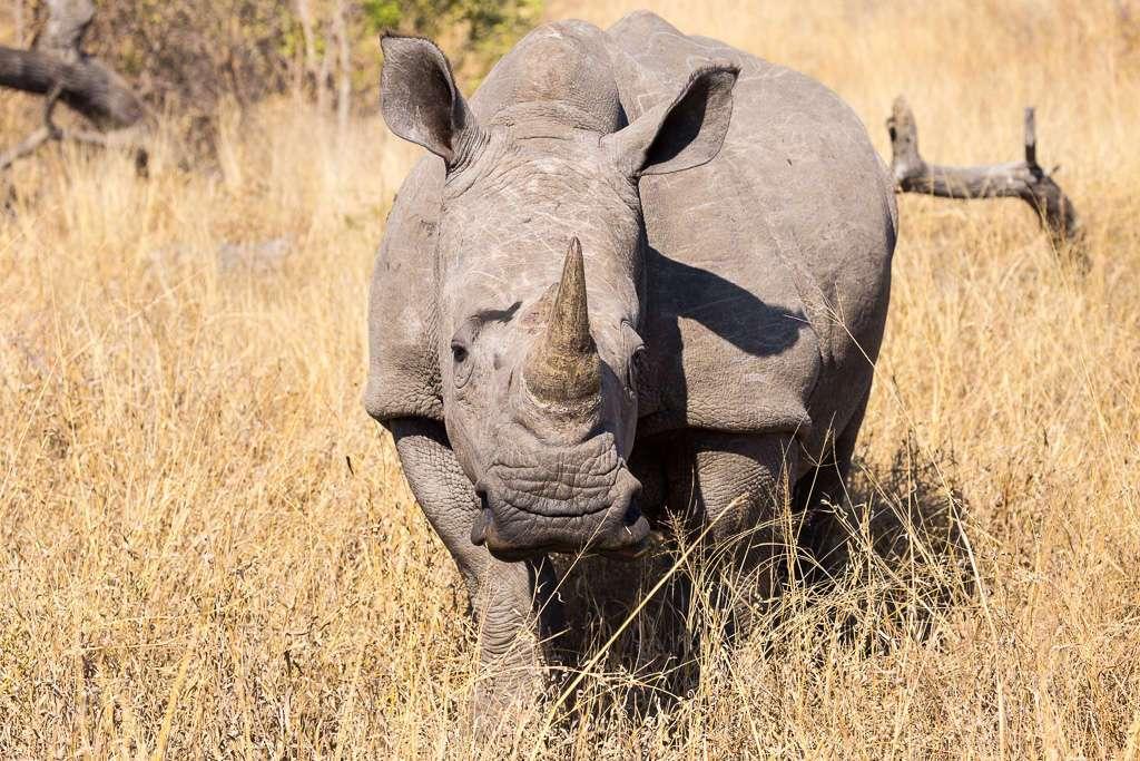 Rinoceronte en el parque Kruger, Sudáfrica