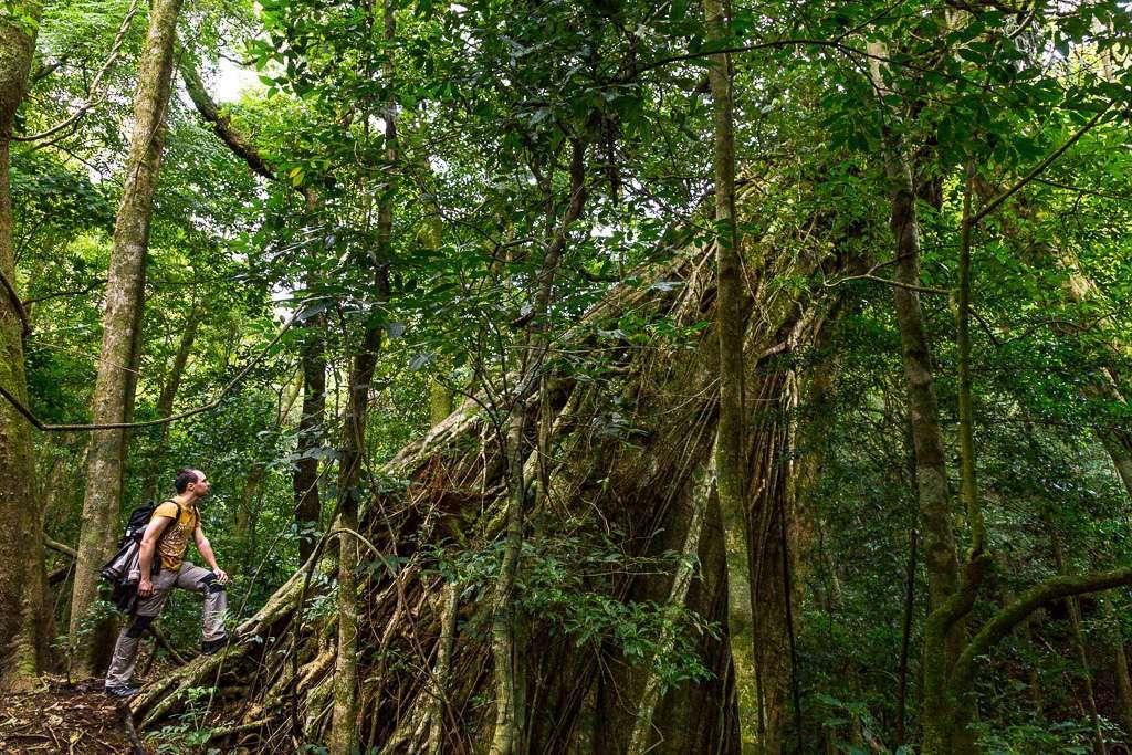 Árbol gigante en el bosque nuboso de Monteverde, Costa Rica