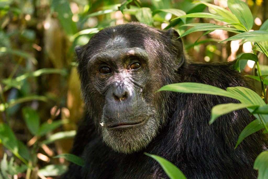 Cara de un chimpancé en el Parque Nacional de Kibale (Uganda)