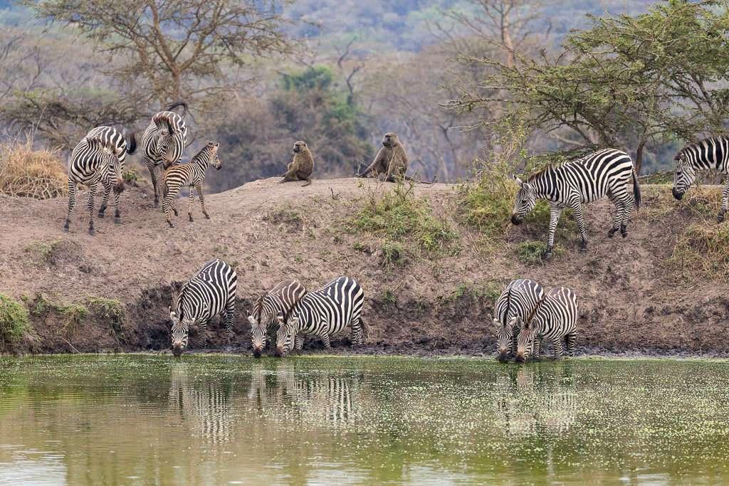 Cebras y babuinos en una charca del lago Mburo (Uganda)