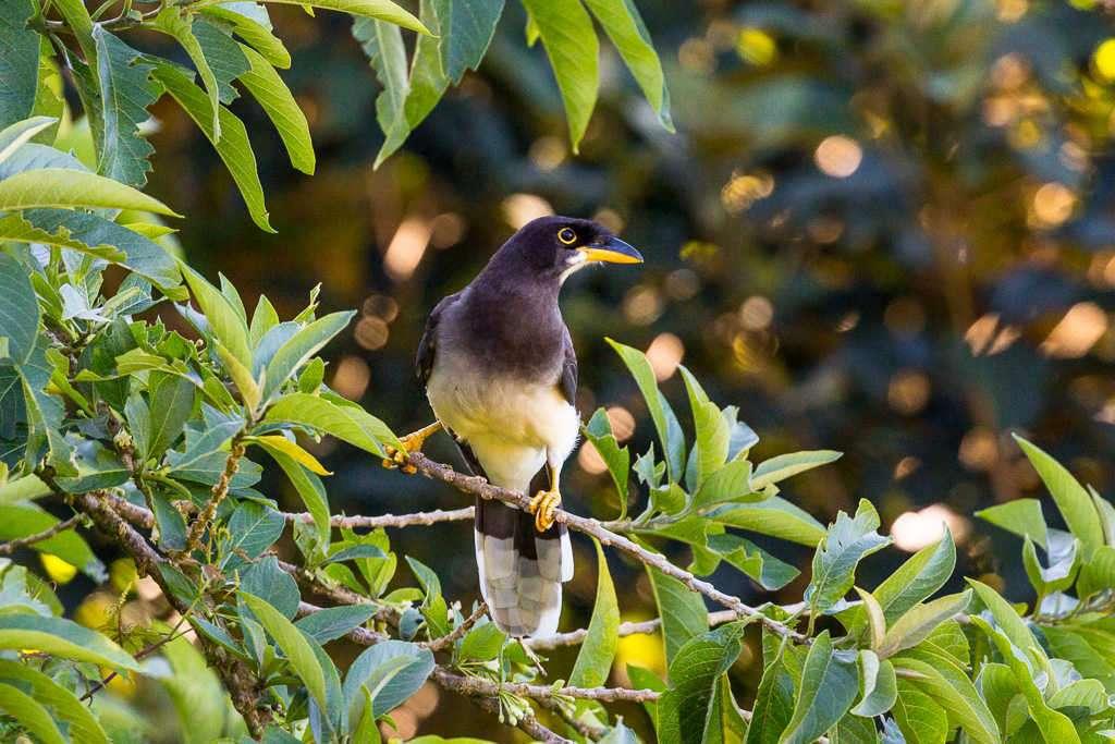Chara papan en Monteverde, Costa Rica