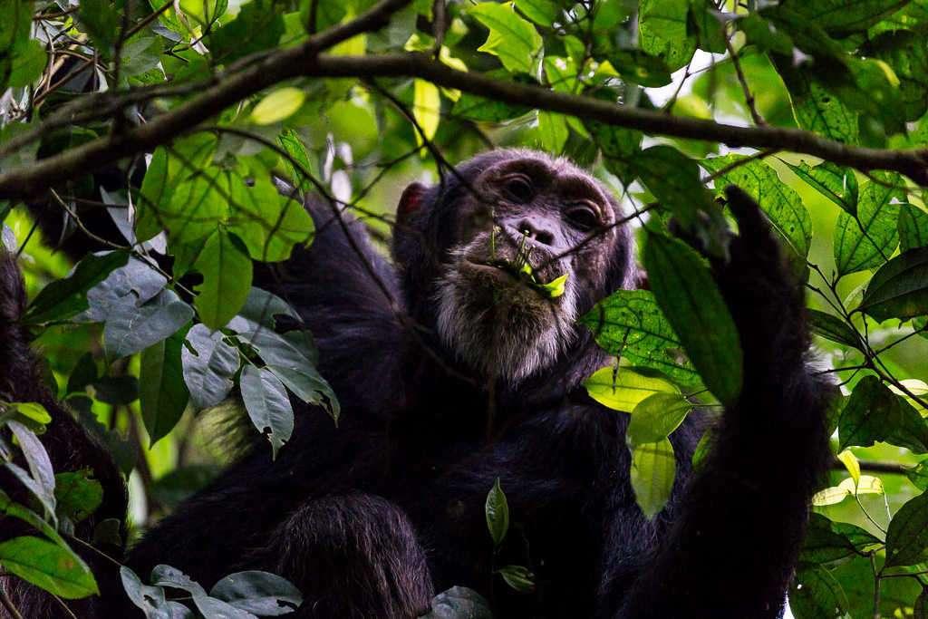 Chimpancé en el bosque de Budongo (Uganda)