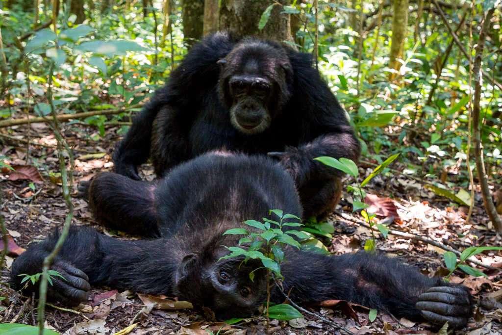 Chimpancés acicalándose en el Parque Nacional de Kibale (Uganda)