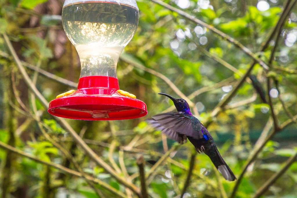 Colibrí morado en Monteverde, Costa Rica
