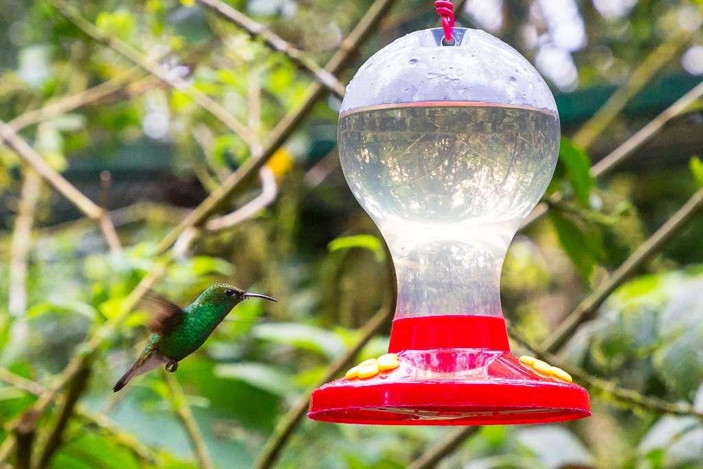 Colibrí verde en Monteverde, Costa Rica