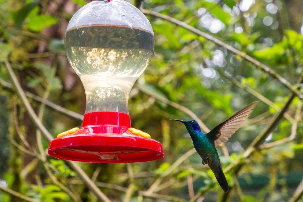Colibrí verde y morado en Monteverde, Costa Rica