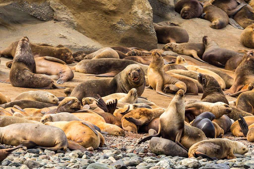 Colonia de lobos marinos, isla Marta, Chile