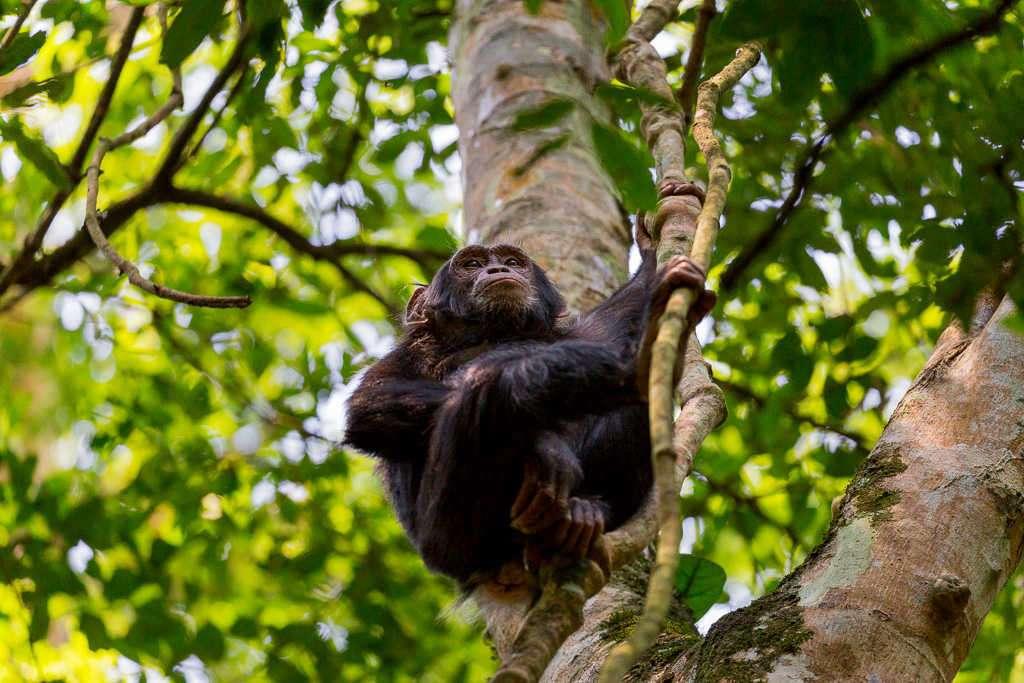 Cría de chimpancé en el Parque Nacional de Kibale (Uganda)
