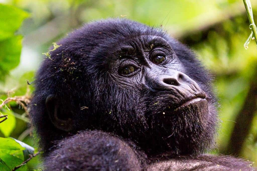 Cría de gorila mirándonos en el Parque Nacional del Bosque Impenetrable de Bwindi (Uganda)