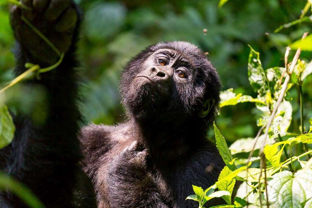 Cría de gorila rascándose en el Parque Nacional del Bosque Impenetrable de Bwindi (Uganda)