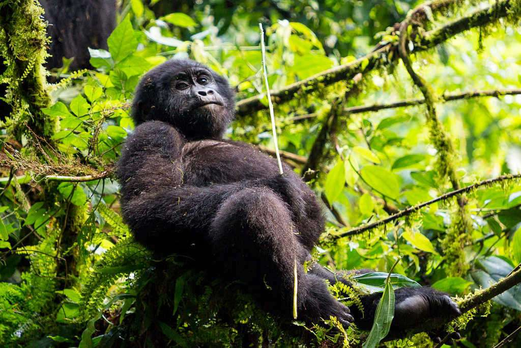 Cría de gorila sentado en el Parque Nacional del Bosque Impenetrable de Bwindi (Uganda)