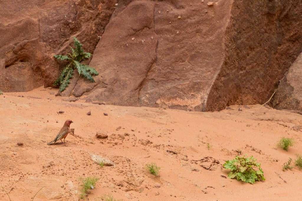 Pájaros en el desierto rojo, Wadi Rum, Jordania