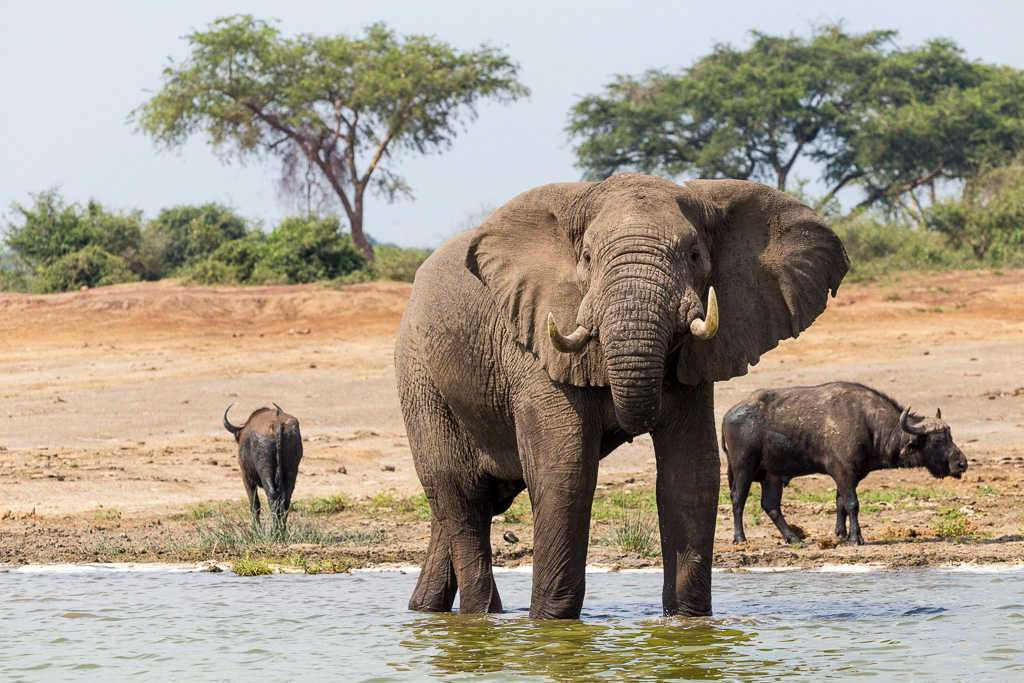 Elefante en el Canal de Kazinga (PN Queen Elizabeth) (Uganda)