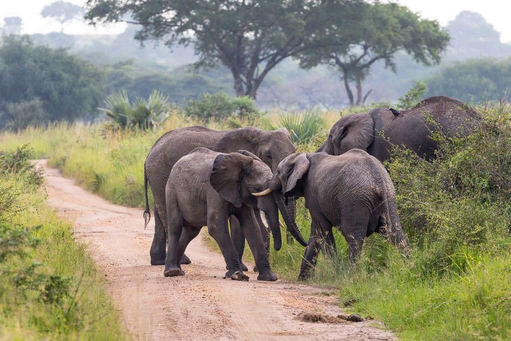 Familia de elefantes jugando en el Parque Nacional Murchison Falls (Uganda)