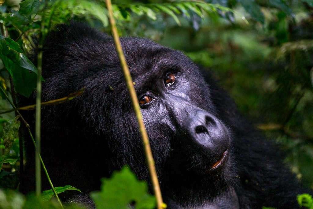 Gorila joven mirándonos en el Parque Nacional del Bosque Impenetrable de Bwindi (Uganda)