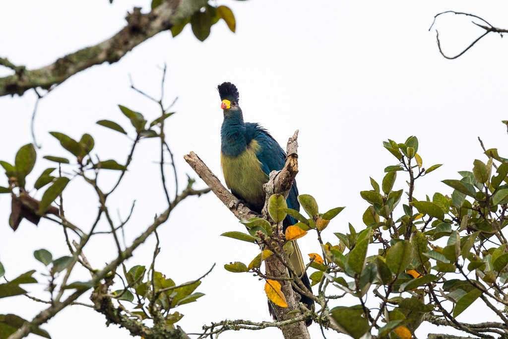 Gran turaco azul en el Bigodi Wetland Sanctuary (Uganda)