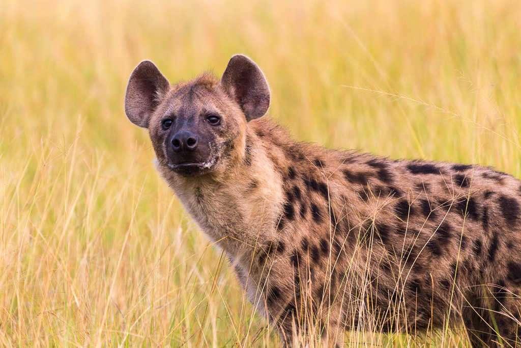 Hiena en Ishasha (PN Queen Elizabeth) (Uganda)