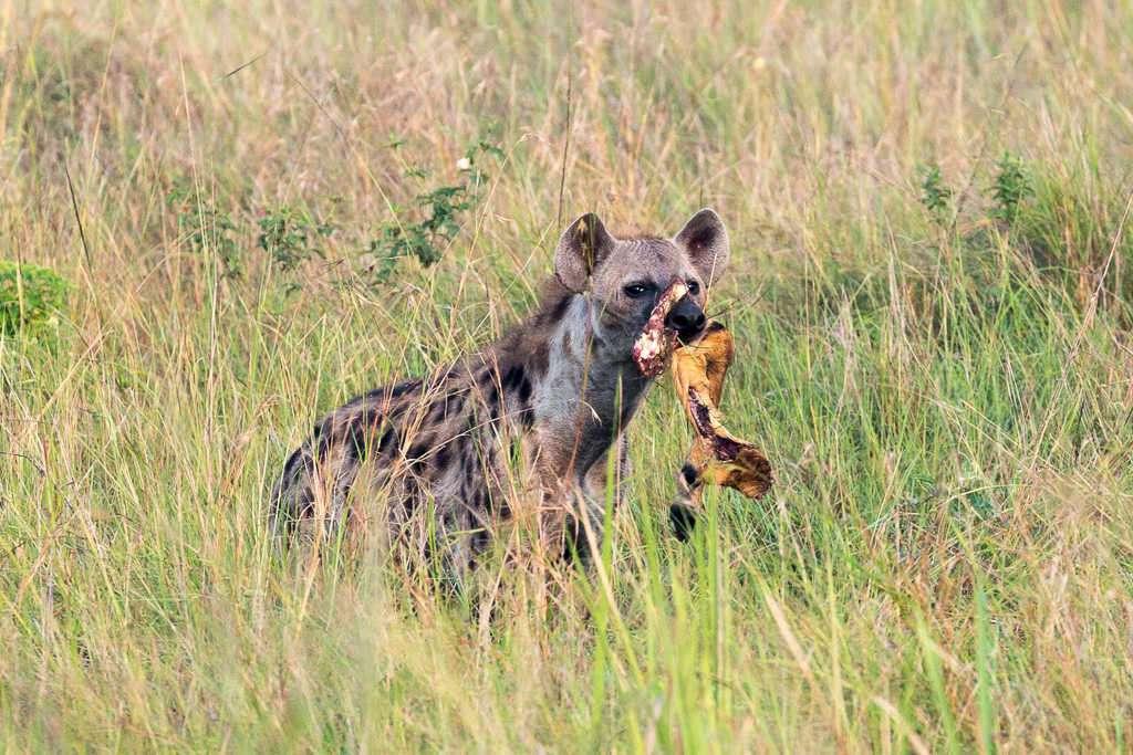Hiena en el Parque Nacional Queen Elizabeth (Uganda)