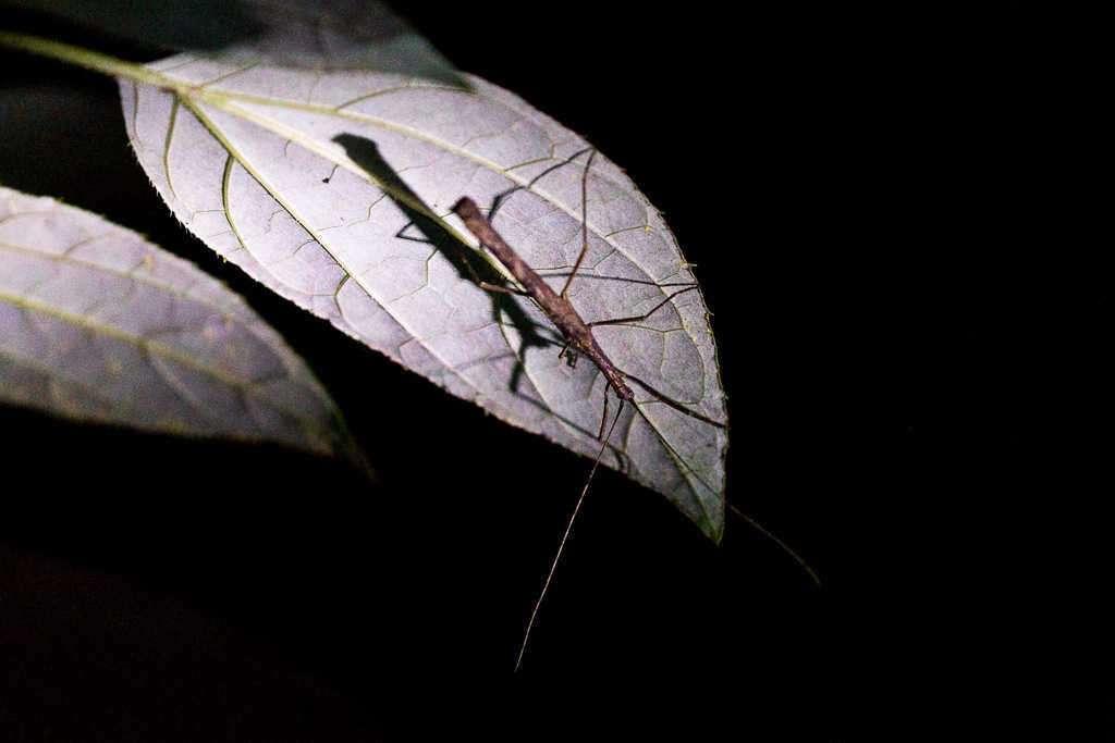Insecto palo visto en el tour nocturno en Monteverde, Costa Rica
