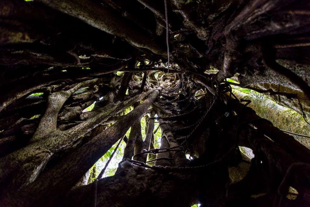 Interior de un ficus en el bosque nuboso de Monteverde, Costa Rica