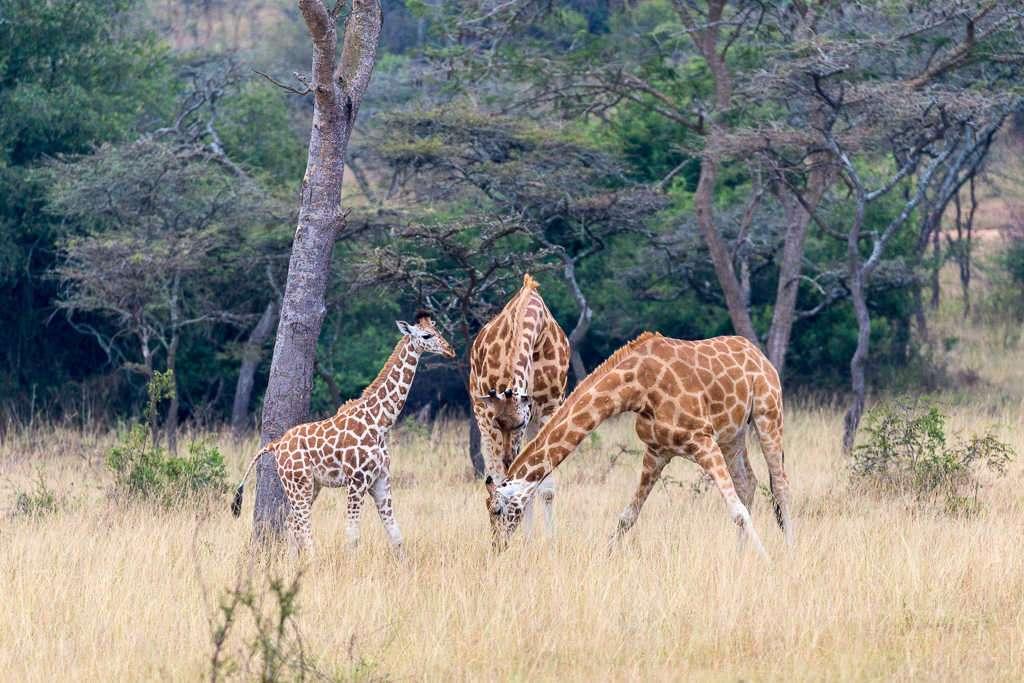 Familia de jirafas en el lago Mburo (Uganda)