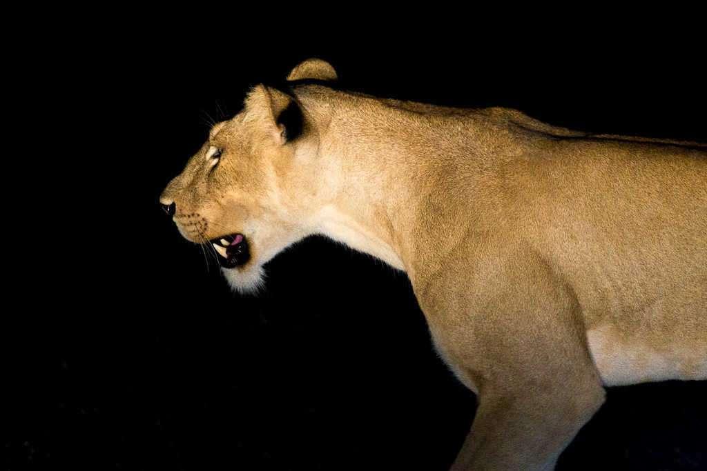 Leona de cacería por la noche en el Parque Nacional Murchison Falls (Uganda)