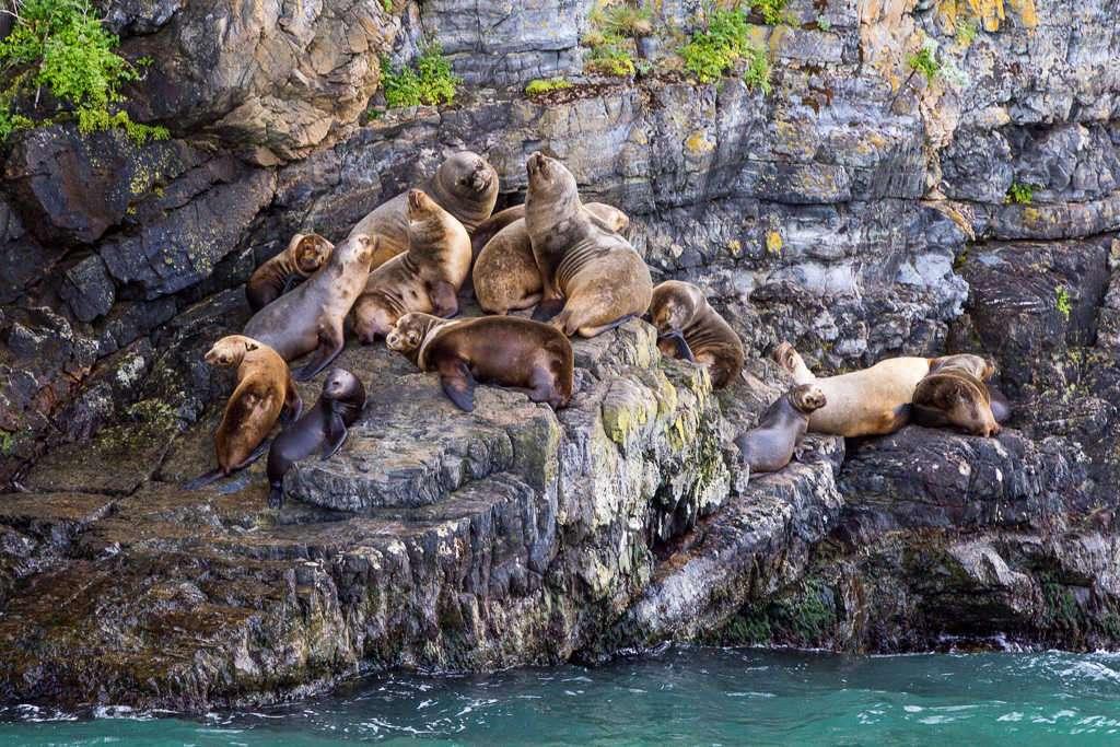 Leones marinos cerca del glaciar Balmaceda, Chile