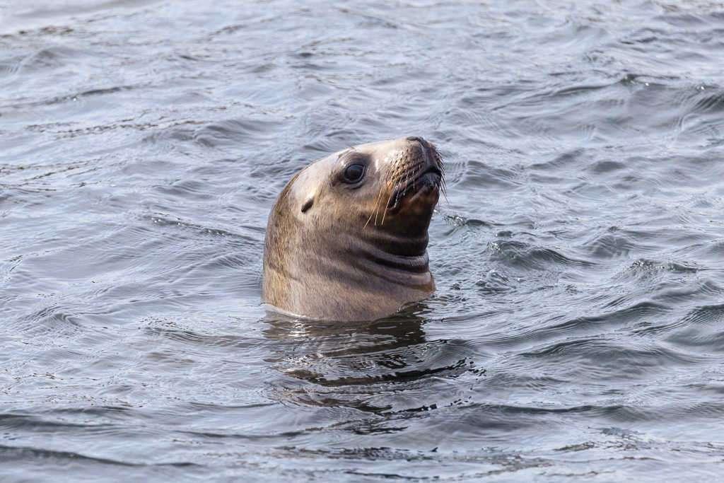 Lobo marino asomándose cerca de isla Marta, Chile