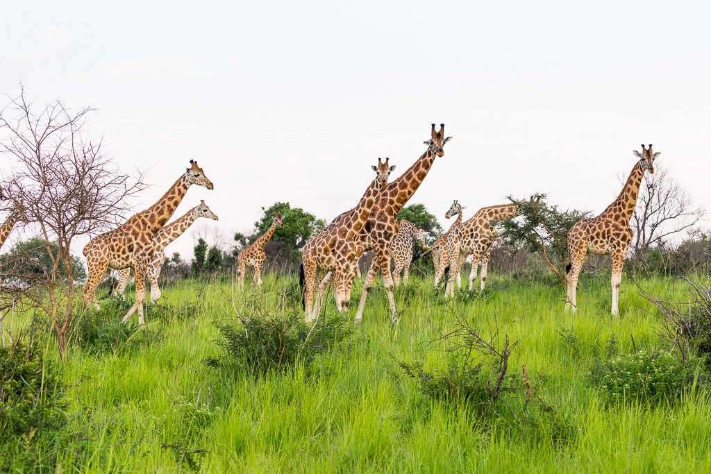 Manada de jirafas en el Parque Nacional Murchison Falls (Uganda)