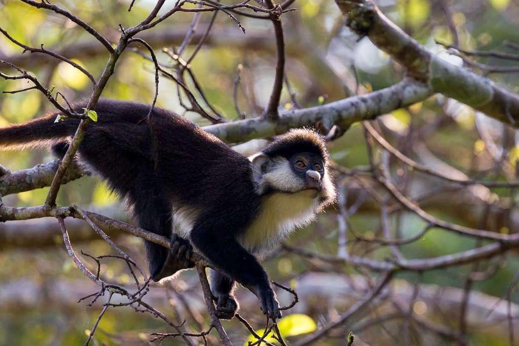Mono L'hoest en el Bigodi Wetland Sanctuary (Uganda)